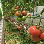 Regulacja gron do 4 owoców zapewnia pomidory w rozmiarze BB, BB+ o średniej masie 200 g