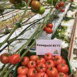 Kawaguchi RZ spełnia wymagania gospodarstw uprawiających pomidory malinowe na rynek lokalny oraz na eksport