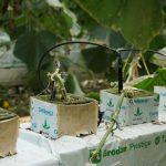 Uprawa ogórków brodawkowych w wełnie mineralnej Prestige