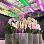 Testy na storczykach w centrum R&D JMP Flowers przy użyciu oprawy badawczej VARIO