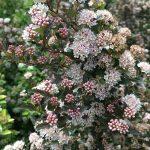 Physocarpus opulifolius SWEET CHERRY TEA