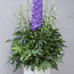 Delphinium DELGENIUS™ BREEZIN