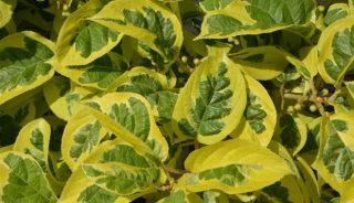 """Tegoroczny Konkurs Roślin """"Nowości"""", przeprowadzony online przyniósł 6 medali w tym 2 złote (na fot. Actinidia arguta Hokey Pokey® - jedna z dwóch złotych medalistek)"""