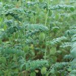 Pędy ciecierzycy są wniesione, a strąk zawiera średnio 1-2 nasiona (fot. P. Bucki)
