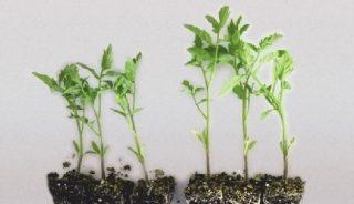 Efekty działania preparatu RhizoVital zastosowanego w czasie produkcji rozsady pomidora