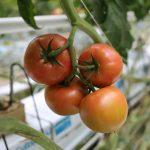 Pomidor malinowy Maluno
