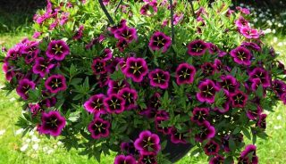 Calibrachoa Cabaret Good Night Kiss