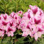 Rhododendron 'Devin'