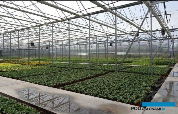 Wnętrze jednego z nowych tuneli zblokowanych w gospodarstwie Royal Plant - z uprawą doniczkowych chryzantem oraz roślin o ozdobnych liściach (I dekada września), fot. A. Cecot