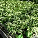 Pteris cretica Albolineata_Royal Plant