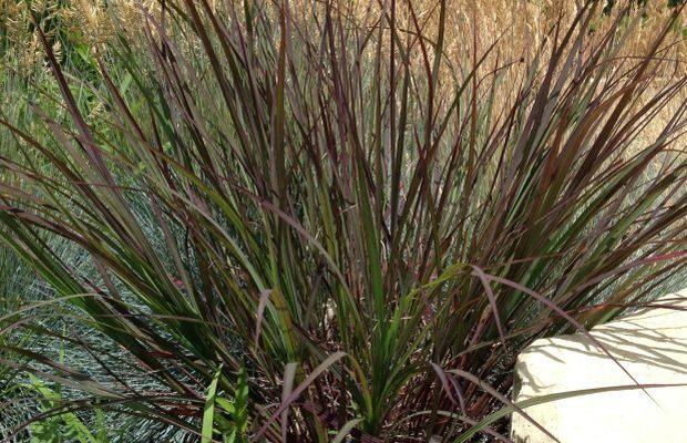 SU Awards przyopadły w tym roku pięciu nowym odmianom bylin, m.in. palczatce Gerarda BLACKHAWKS, fot. CNB New Plants
