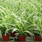 Chlorophytum comosum_Royal Plant
