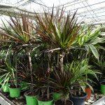 Draceny (Dracaena marginata i D. fragrans) w uprawie szklarniowej, na stołach_Royal Plant