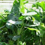 Monstera deliciosa_Royal Plant