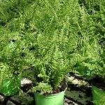 Nephrolepis exaltata 'Fluffy Ruffles'_Royal Plant