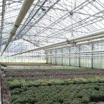 """Wnętrze szklarni z uprawą chryzantem """"średniokwiatowych""""_Royal Plant"""