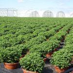 Chryzantemy drobnokwiatowe_Royal Plant_kontenerownia
