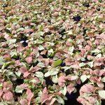 Syngonium 'Neon Robusta'_Royal Plant