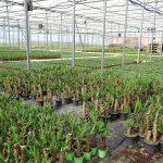 Uprawa w tunelu odbywa się na zagonach gruntowych (na 1. planie zagon z jukkami)_Royal Plant