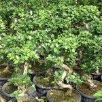 Ficus microcarpa_Royal-Plant