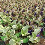 Peperomia_Royal-Plant