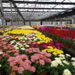 Chryzantemy o kwiatostanach średniej wielkości w tunelu gospodarstwa pp. Niemczewskich...