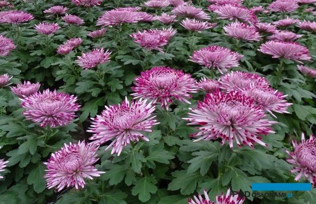 'Santosh Violet' - wielkokwiatowa odmiana chryzantemy doniczkowej; uprawa w gospodarstwie pp. Niemczewskich, II dekada października br., fot. A. Cecot