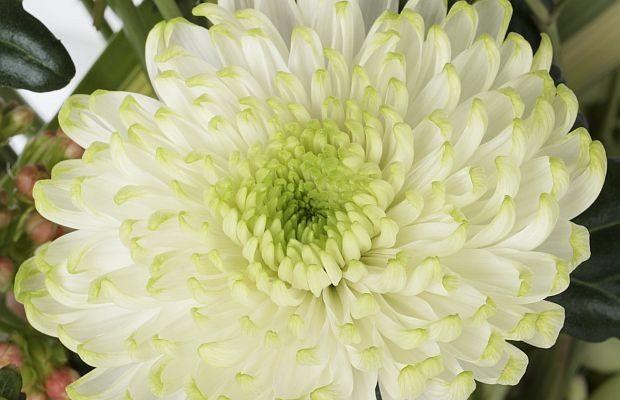 Wielkokwiatowa odmiana chryzantemy Rossano 'Lime', fot. Deliflor