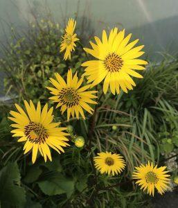 Silphium terebinthinaceum 'Moa Ven Toh'
