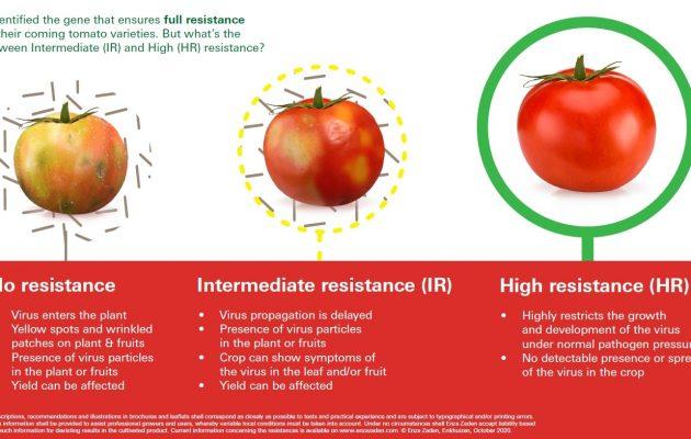 Od lewej pomidor odmiany nieodpornej na wirus ToBRFV po infekcji, pośrodku - owoc odmiany o średniej odporności (IR), u której mogą wystąpić słabsze objawy infekcji na liściach i owocach, z prawej - pomidor odmiany o wysokiej odporności na ToBRFV, wirus nie wnika do rośliny