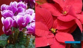 Poinsecje i cyklameny (na zdjęciu odmiany 'Kyoto' - z lewej oraz 'Mirage Red' - z prawej) będą roślinami, którym Syngenta Flowers poświęci pokazy online pod nazwą Autumn Trials VirtualTOUR, fot. A. Cecot