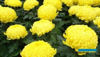 Wielu polskich ogrodników została w tym roku z niesprzedanymi chryzantemami, fot. A. Cecot
