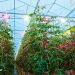 Uprawa pomidora z hybrydowym doświetlaniem górnym - lampy HPD plus LED, oraz LED-owymi modułami międzyrzędowymi