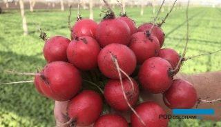 Hodowla rzodkiewki z tradycjami W programach hodowlanych Hazery gatunek ten jest jednym z priorytetowych już od 40 lat i firma ta jest obecnie światowym liderem pod względem sprzedaży nasion odmian rzodkiewki o kulistych, czerwonych zgrubieniach, przeznaczonych do upraw w otwartym gruncie i pod osłonami. Może zaoferować odmiany w każdym segmencie. W ostatnich latach, ze względu na coraz częściej powtarzające się ekstremalne zjawiska pogodowe, rośnie znaczenie uprawy rzodkiewki pod osłonami, pozwalającej uzyskać pewny plon o dobrej jakości. Największymi producentami tego warzywa w Europie są Włochy i Holandia. We Włoszech roczna powierzchnia produkcji rzodkiewki pod osłonami sięga 1,5 tys. ha. Warzywo to uprawiane jest głównie zimą w tunelach foliowych, większość plonu przeznaczana jest na eksport. W Holandii uprawy rzodkiewki prowadzone przede wszystkim w szklarniach zajmują 900 ha. Firma Hazera, jak informował Adam Prabucki, ma około 70-procentowy udział w holenderskim rynku rzodkiewki. W Niemczech warzywo to uprawiane jest głównie w polu, na powierzchni ok. 4000 ha. W Polsce mamy ogółem mniej więcej 1000 ha rzodkiewki, w tym pod osłonami niecałe 200 ha, są to głównie uprawy w tunelach foliowych, popularne m.in. w rejonie Piotrkowa Trybunalskiego. Rzodkiewka jest oferowana tradycyjnie w pęczkach lub jako zgrubienia obcinane. W hodowli dąży się do uzyskania m.in. silnego, zdrowego ulistnienia – co umożliwia prowadzenie zbioru mechanicznego oraz wiązanie w pęczki – oraz trwałych zgrubień, nie tracących koloru podczas mycia i długo zachowujących jędrność. Więcej o cechach dobrych odmian rzodkiewki, wkrótce, w kolejnej części artykułu.