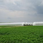 Tunelowe plantacje malin w gospodarstwie OVOC