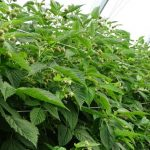 Intensywne zawiązywanie owoców na odmianie 'Kwanza'