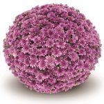 Chryzantema Fonti Dark Pink - odmiana drobnokwiatowa letnia, fot. Gediflora