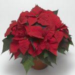 poinsecja Magma Red, fot. Syngenta Flowers