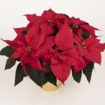 poinsecja Toro Red, fot. Syngenta Flowers