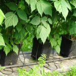 Doniczki na nóżkach uniemożliwiają kontakt korzeni z glebą