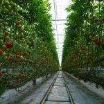 pomidor Climston, waga Trutina