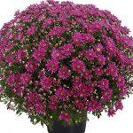 chryzantema Superba Pink, fot. Royal van Zanten