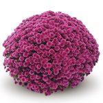 chryzantema_Jasoda_purple_fot_Gediflora