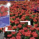 poinsecje Roccostar Bright Red na wirtualnych pokazach, fot. A. Cecot (prt scr.)