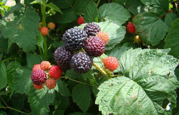 Owocująca malina czarna 'Litacz' (fot. A. Orzeł)
