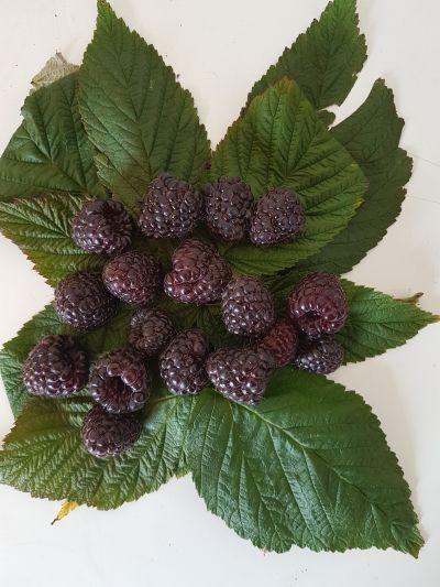 Malina purpurowa 'Heban' o wysokiej wartości prozdrowotnej owoców (fot. A. Orzeł)