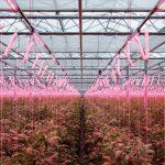 Uprawa pomidorów malinowych z doświetlaniem asymilacyjnym lampami LED w szklarni Łukasza Budyty