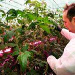 Michał Szymczak z firmy Signify ocenia rozwój roślin pomidora malinowego rosnącego pod lampami LED