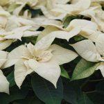 Poinsecja -'Premium White'-fot. A Cecot