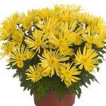 potchrysant_Hermosa_Yellow_m_Royal van Zanten